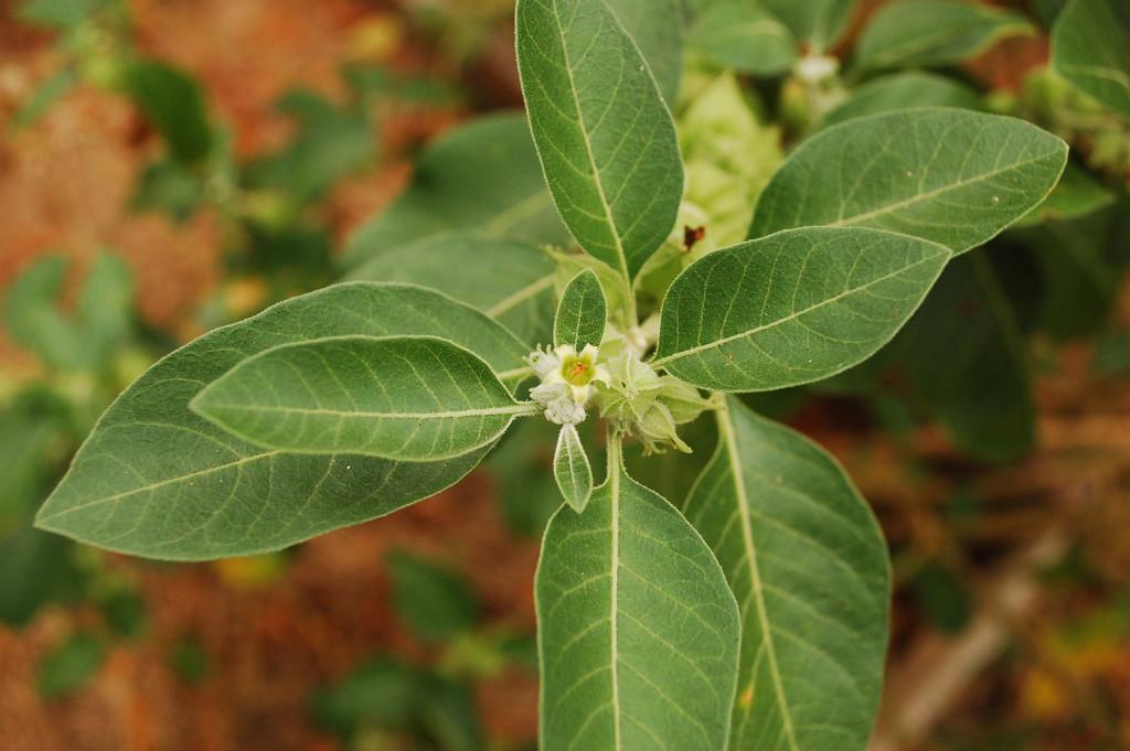ashwagandha-flower-1024x681